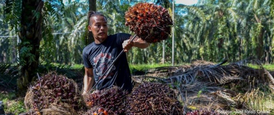 Kok Caps Oil Palm Plantation Expansion