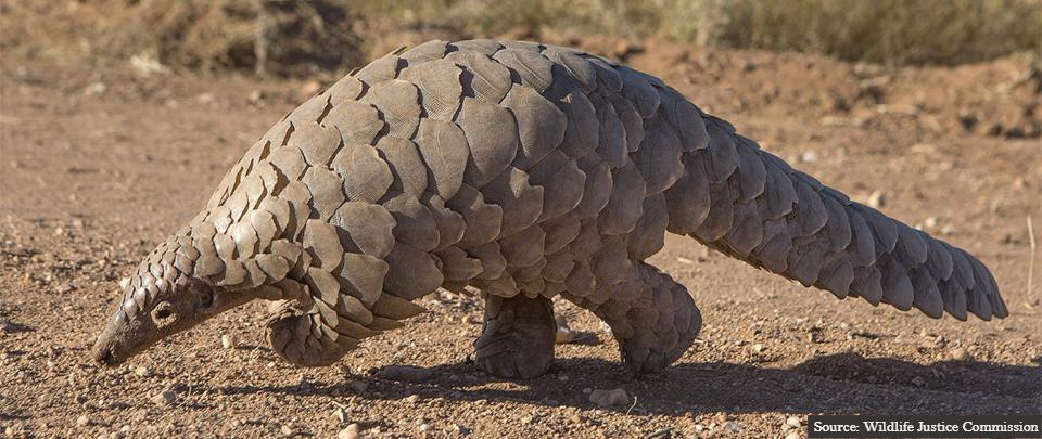 A New Threat to Pangolins' Survival?