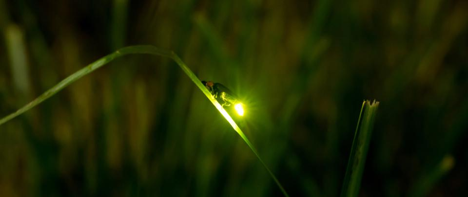 World Firefly Day 2021 – Watch us, don't catch us!