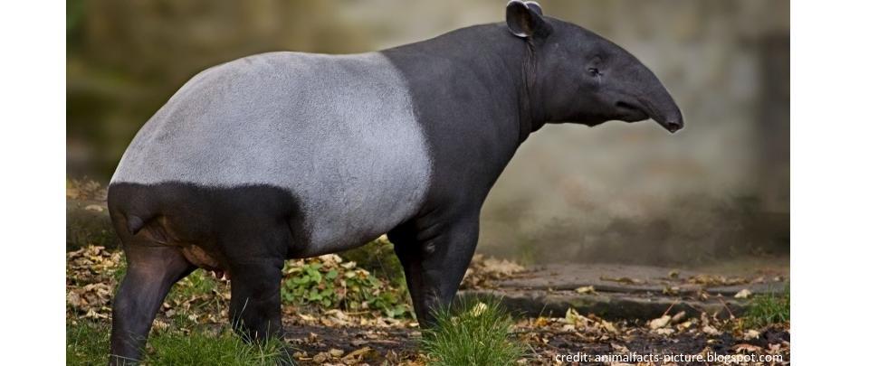 Discovering the Malayan Tapir