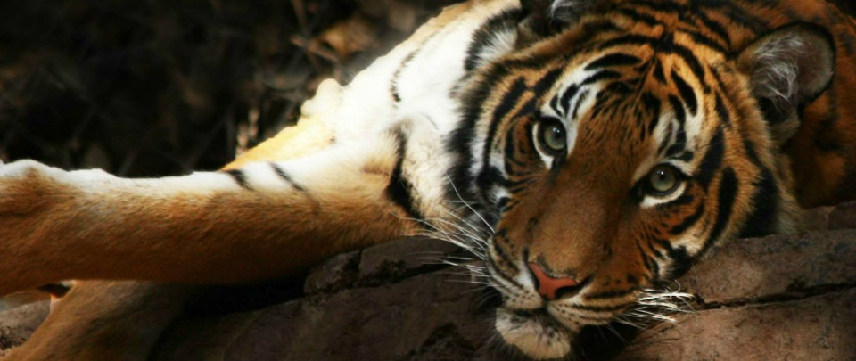 Wild Tiger Conservation and the Inaugural Panda Ball