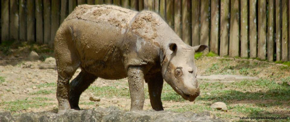 The Near Extinction of the Sumatran Rhino