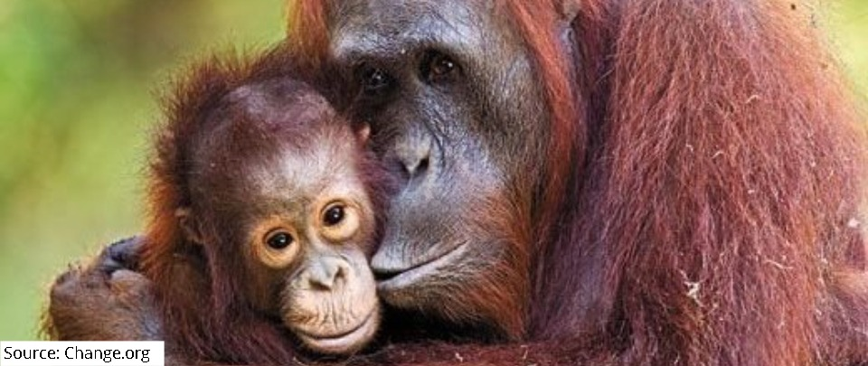 Damming the Tapanuli Apes to Death