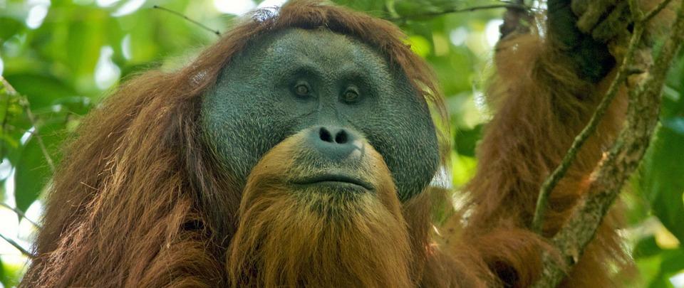 Dam Threatens Last of Rarest Great Ape