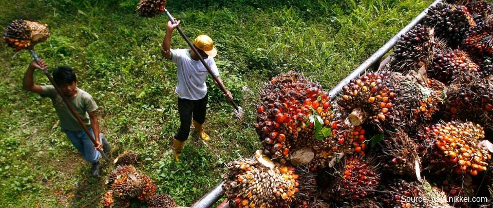 Oil Palm 101?