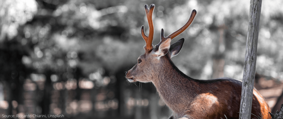 Nara Park Deer Benefiting From Tourism Decline