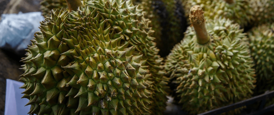 Thorny Dispute Over Unlicenced Durian Farming