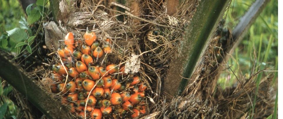 Crude Palm Oil Aberration