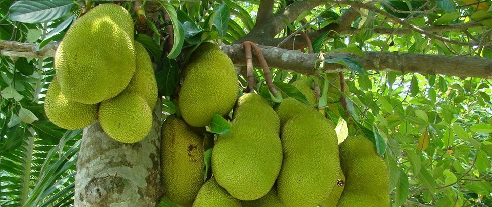 The Guardian's Jackfruit Article - Insulting or Critical?