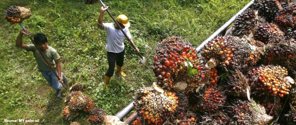 Palm Oil Output Set to Recover: Phillip Futures